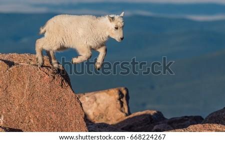 Baby Mountain Goat Lamb Jumping Among The Rocks On