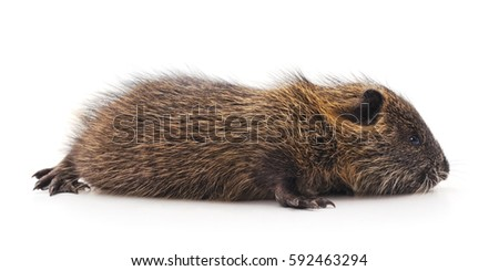 Baby nutria isolated on a white background.