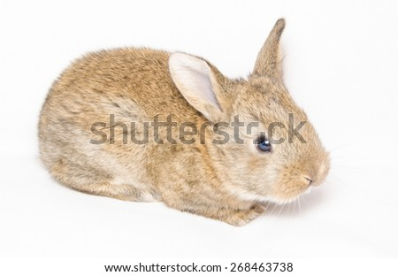 Baby of brown rabbit on white background - stock photo