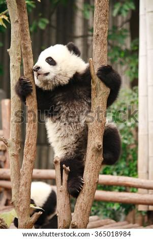 Baby of Giant panda bear - stock photo
