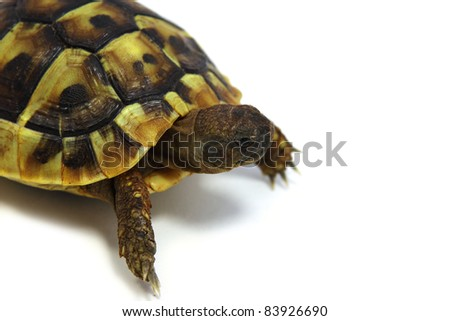 baby of Hermann't tortoise on white background