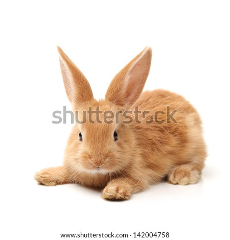 Baby of orange rabbit on white background - stock photo