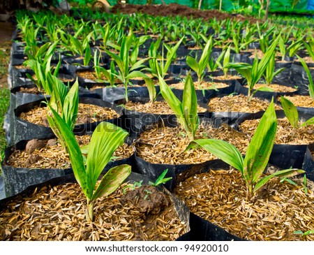 baby oil palm tree in nursery house - stock photo