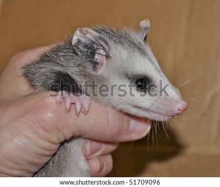 Baby opossum being held - stock photo