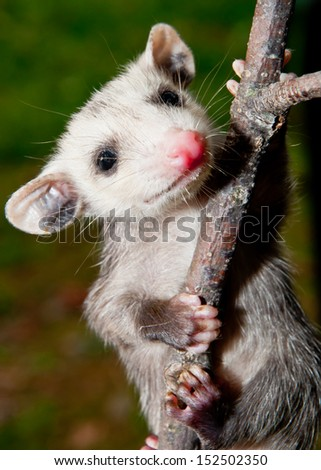 Baby Opossum learning to climb - stock photo