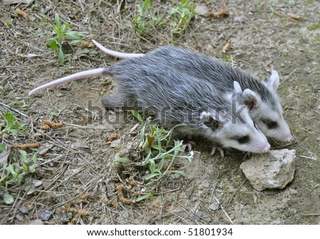 Baby Opossums - stock photo