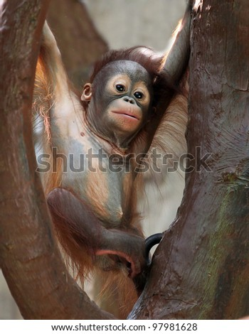 Baby Orang Utan - stock photo