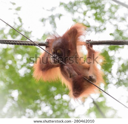 Baby orangutan in a funny pose hanging on a rope - stock photo