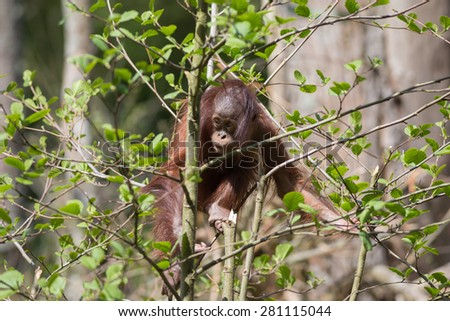 Baby Orangutan Playing on the top of Tree