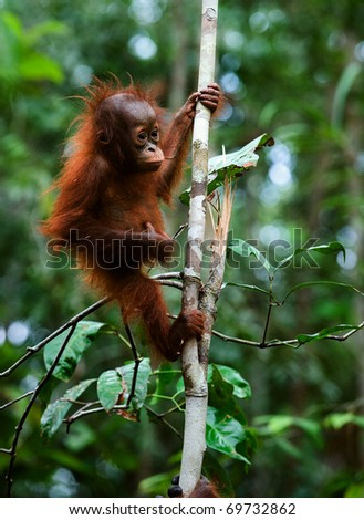 Baby orangutan (Pongo pygmaeus) swinging in tree .  Borneo, Indonesia. - stock photo