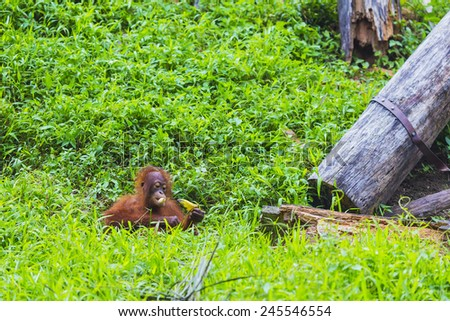 Baby orangutan  swinging in tree . Borneo, Indonesia.  - stock photo