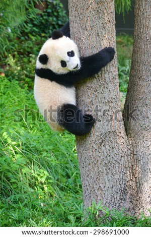 Baby panda climb a tree - stock photo