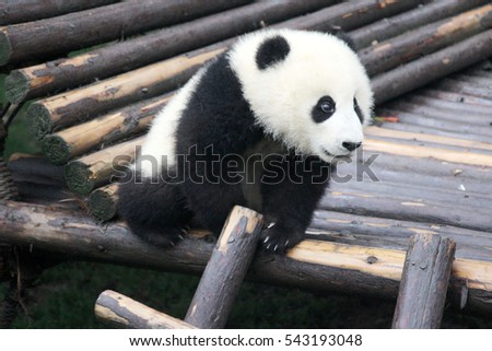Baby Panda on the playground