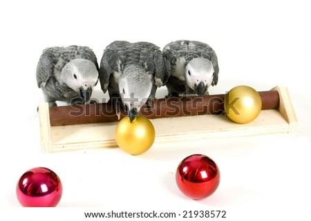 baby parrots on a stick playing with christmas balls - stock photo