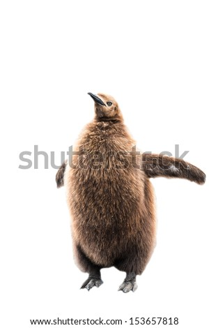 Baby penguin with brown feathers isolated on the white background - stock photo