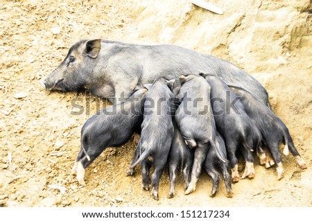 Baby pigs are eating from their mother - stock photo
