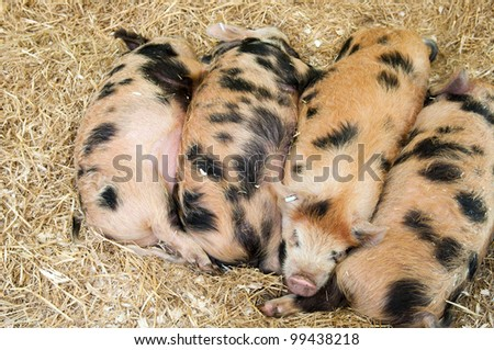 baby pigs with black spots sleeping on hay - stock photo
