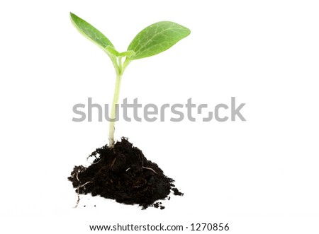 Baby plant in soil on white background