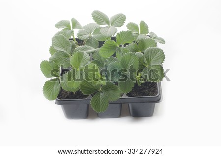 Baby plant strawberry in a pot on white background, spring plants.