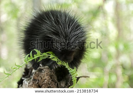 Baby Porcupine (Erethizon dorsatum) Chews on Fern - captive animal - stock photo