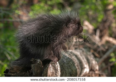 Baby Porcupine (Erethizon dorsatum) Looks Up - captive animal - stock photo