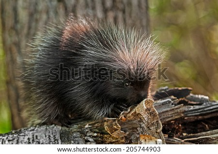 Baby Porcupine (Erethizon dorsatum) On Birch Branch - captive animal