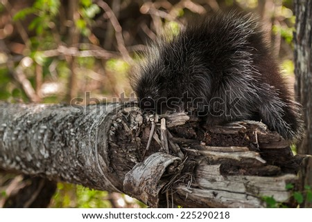 Baby Porcupine (Erethizon dorsatum) Sniffs at Branch - stock photo