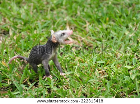 Baby Possum Calling for Sibling - stock photo
