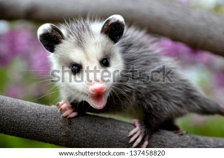 Baby Possum in a Tree - stock photo