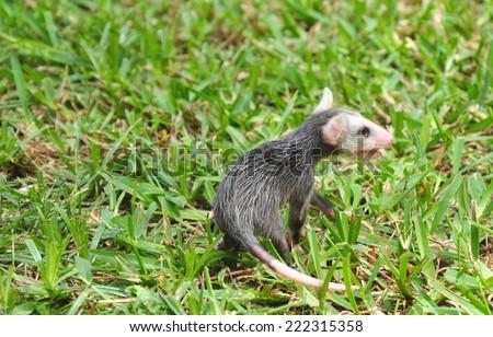 Baby Possum in Grass - stock photo