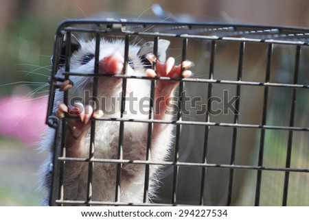 baby possum in humane trap, released in woods - stock photo