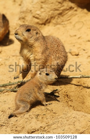 Baby prairie dog with in the background its parent - stock photo