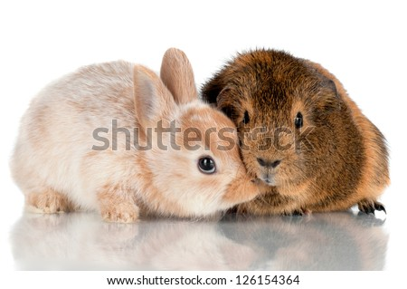 baby rabbit kissing guinea pig - stock photo
