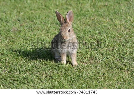baby rabbit Oryctolagus cuniculus - stock photo