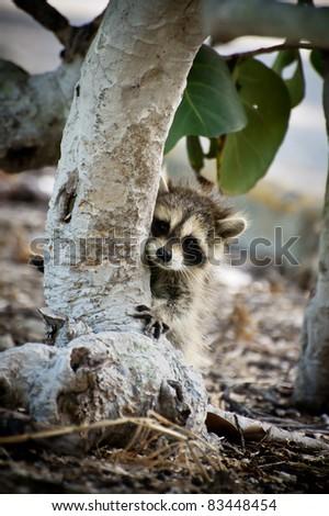 Baby Raccoon - stock photo