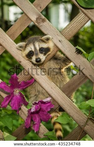 Baby Raccoon climbing in the garden. - stock photo