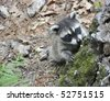 Baby Raccoon climbing up on tree stump - stock photo