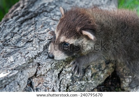 Baby Raccoon (Procyon lotor) Clings to Side of Log - captive animal