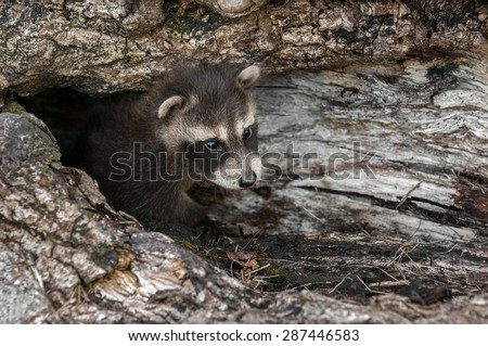Baby Raccoon (Procyon lotor) Looks out from Downed Tree - captive animal