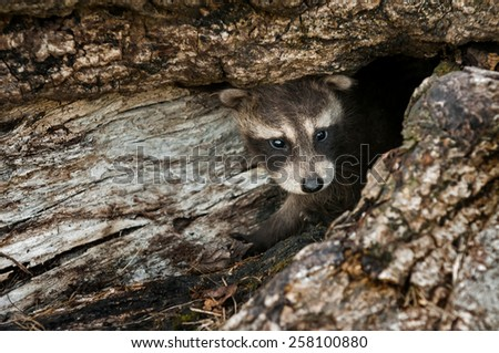 Baby Raccoon (Procyon lotor) Peeps out of Log - captive animal - stock photo