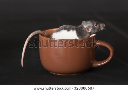 baby rat sitting in a cup closeup