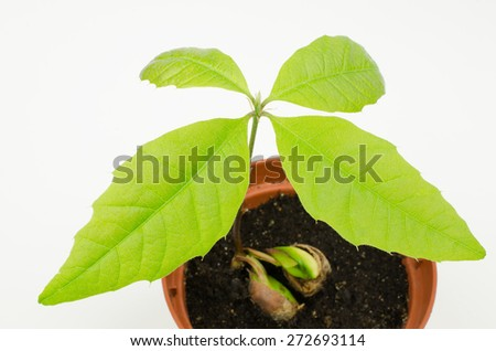 baby red oak enfolds first leafs - stock photo