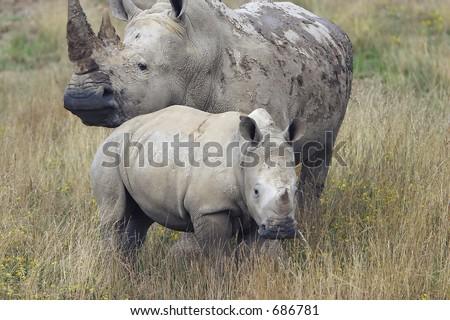 Baby Rhino close to a protective mother Rhino - stock photo