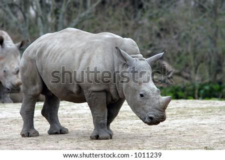 Baby rhinocerous posing. - stock photo