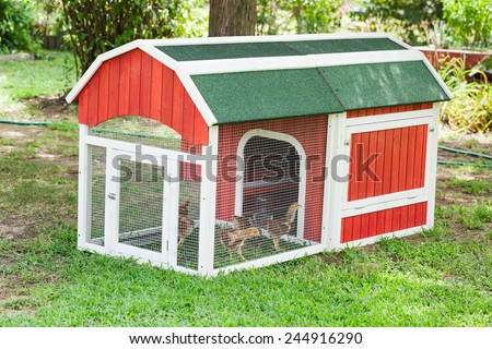 Baby Rhode Island Red chicken about 6 weeks in a chicken coop in a yard - stock photo