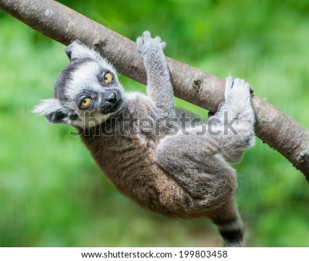 Baby Ring-Tailed Lemur Hanging from a Tree Branch