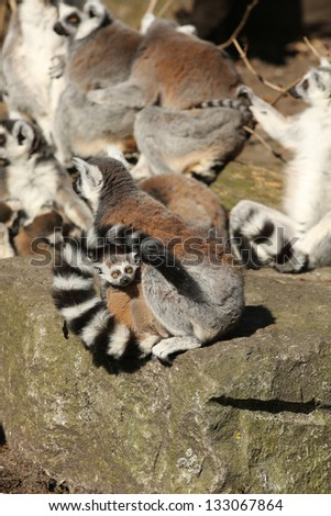 Baby ring-tailed lemur looking at you - stock photo