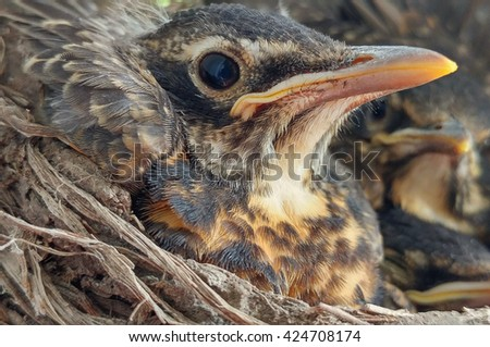 Baby Robin Birds In Nest Wildlife Photo - Closeup view of American robin birds in their nest, colorful wildlife animal babies photo. - stock photo