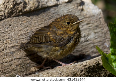 Baby Robin just out of its nest. - stock photo