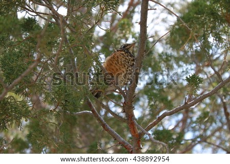 Baby Robin perched in a cedar tree - stock photo